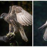 Falconry Photography with Woodland Hawking - February
