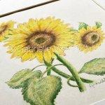 Original Coloured Pencil Illustration - Three Sunflowers.