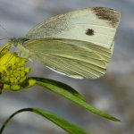 The Big Butterfly Count at Compton Castle