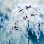 Cotton Grass Blues