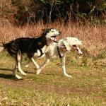 Husky Racing1