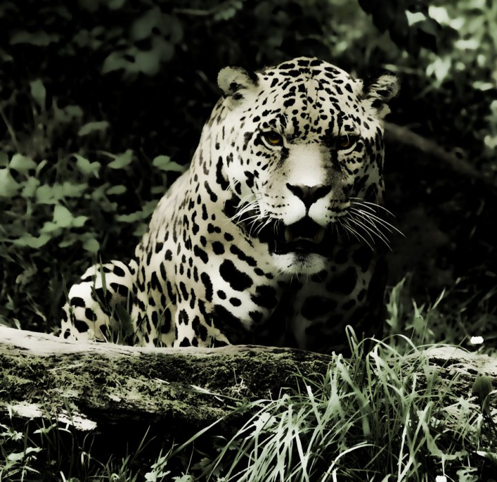 Jaguar Beauty