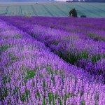 Fields of Norfolk Lavender - Creativity Coach
