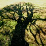 Oak Shadow