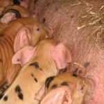 Oxford sandy & black piglets at Occombe Farm