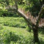 Pheasant Apple Tree 2