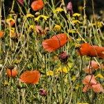 Poppy Colour