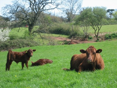 Red ruby cows grazing the SSSI at Occombe Farm