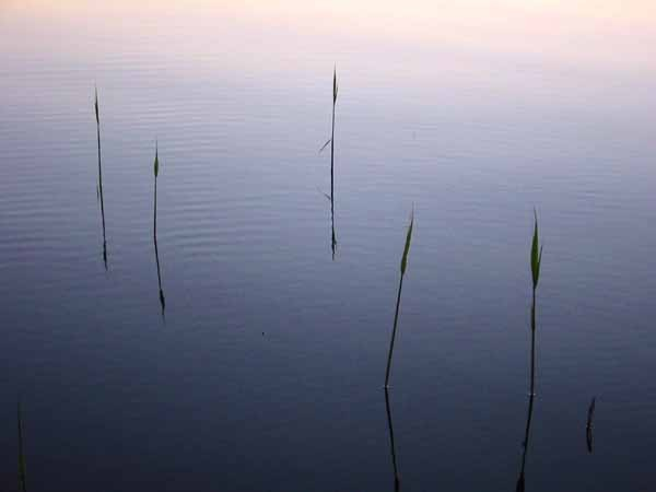 Reeds on a Swedish Lake