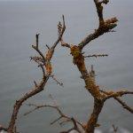 Rusty lichen