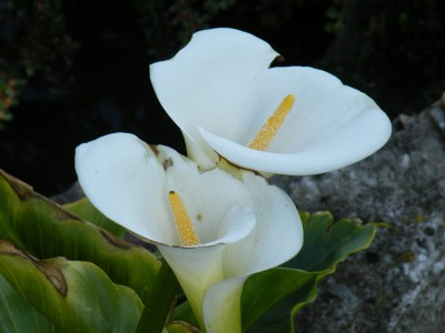 Two Lillys by Aaron