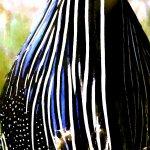 Vulturine Guineafowl detail