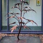 Acer Tree Fountain
